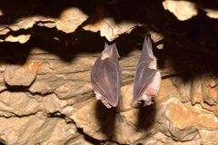 Lesser Horseshoe Bat fotografie stock