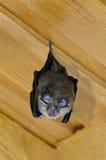 Lesser Horseshoe Bat (hipposideros de Rhinolophus) Imagen de archivo libre de regalías