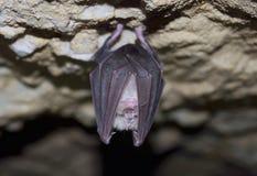 Lesser Horseshoe Bat (Rhinolophus-Hipposideros) Stockbilder