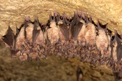 Lesser Horseshoe Bat Stock Photo