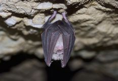 Lesser Horseshoe Bat (Rhinolophus hipposideros) Stock Images