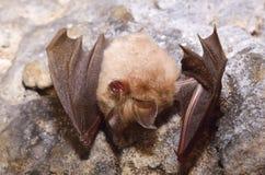 Lesser Horseshoe Bat (Rhinolophus hipposideros) Stock Photography