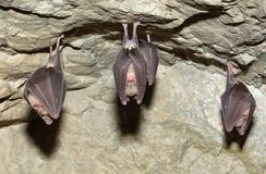 Lesser Horseshoe Bat (Rhinolophus hipposideros) Royalty Free Stock Photography