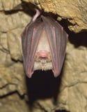 Lesser Horseshoe Bat (Rhinolophus hipposideros) Royalty Free Stock Photos