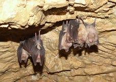 Lesser Horseshoe Bat (Rhinolophus hipposideros) Stock Image