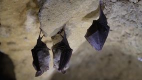 Lesser horseshoe bats Rhinolophus hipposideros. Trio of rare bats about to take flight in a cave in Somerset, England, UK stock footage