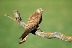 Lesser kestrel Royalty Free Stock Images