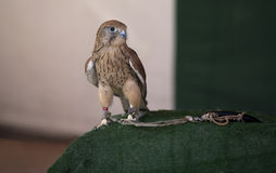 Lesser Kestrel Royalty Free Stock Image