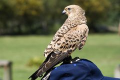 Lesser kestrel Falco naumanni Royalty Free Stock Photo