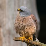 Lesser kestrel Royalty Free Stock Photo
