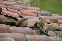 Lesser kestrel, Falco naumanni, Stock Image