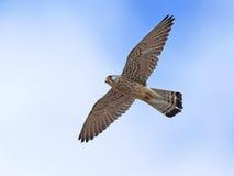 Lesser kestrel Falco naumanni Royalty Free Stock Photography