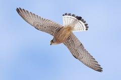 Lesser kestrel Falco naumanni Stock Images