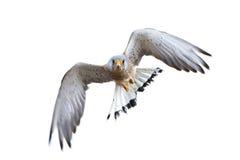 Lesser kestrel Falco naumanni Stock Image