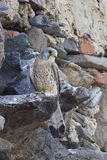 Lesser kestrel Falco naumanni Royalty Free Stock Photos