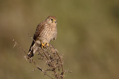 Lesser kestrel, Falco naumanni. Single female on branch, Cyprus, April 2015 Stock Photography