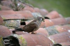 Lesser kestrel, Falco naumanni, Royalty Free Stock Images