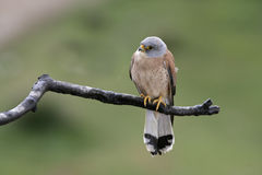 Lesser kestrel, Falco naumanni,. Single male on branch, Spain royalty free stock image