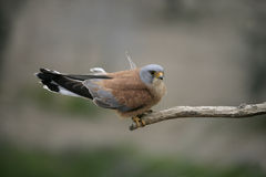 Lesser kestrel, Falco naumanni, Stock Photo