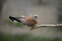 Lesser kestrel, Falco naumanni,. Single male on branch, Spain Stock Photo