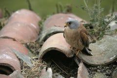 Lesser kestrel, Falco naumanni,. Single male on roof, Spain Royalty Free Stock Photography