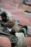 Lesser kestrel, Falco naumanni, Royalty Free Stock Photography