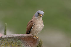 Lesser kestrel, Falco naumanni,. Single male on roof, Spain Stock Photography