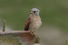 Lesser kestrel, Falco naumanni, Royalty Free Stock Images