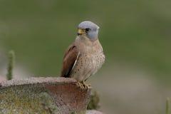 Lesser kestrel, Falco naumanni,. Single male on roof, Spain Royalty Free Stock Images