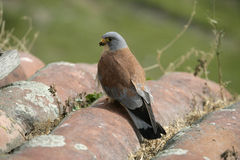 Lesser kestrel, Falco naumanni,. Single male on roof, Spain Stock Images