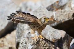 Lesser Kestrel female. Lesser Kestrel (Falco naumanni) female perched on a stone Royalty Free Stock Photos