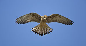 Hovering Lesser Kestrel Stock Photography