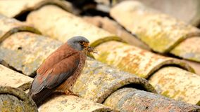 Lesser kestrel with an insect in its beak stock footage