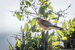 Lesser Kestrel in Kruger National park, South Africa Royalty Free Stock Photos
