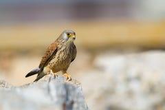 Lesser Kestrel kvinnlig Arkivfoto