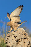 Lesser kestrel landing on rock. This picture was taken in the Kgalagadi Transfrontier Park (Kalahari) in South Africa Stock Photos
