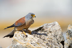 Lesser Kestrel male Stock Photography