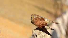 Lesser kestrel male perched. stock footage