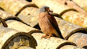 Lesser kestrel male perched on a roof stock video