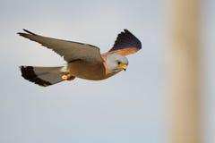Lesser Kestrel-mannetje Stock Afbeeldingen