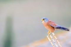 Lesser Kestrel samiec Obraz Royalty Free