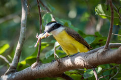 Lesser kiskadee eating frog on leafy branch Royalty Free Stock Image