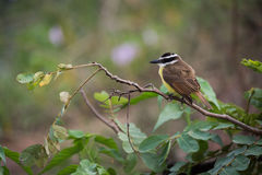 Lesser kiskadee perched on branch facing left Stock Photography