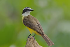 Lesser Kiskadee Perched on a Stump , Panama Royalty Free Stock Images