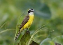 Lesser Kiskadee Perched sur un tronçon, Panama Photographie stock