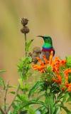 Lesser Kołnierzasty Sunbird portret Fotografia Royalty Free