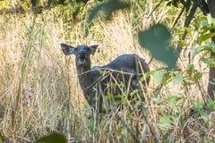 Lesser kudu är en skogantilop som finnas i East Africa Det förläggas Arkivfoton