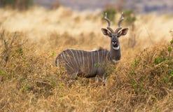 A Lesser Kudu. An adult Lesser Kudu male with impressive horns in his habitat of Tsavo National Park, Kenya Stock Photo