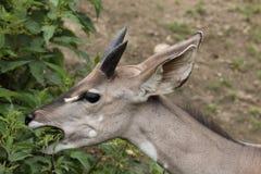 Lesser kudu. The detail of lesser kudu eating the stinging nettle Royalty Free Stock Images