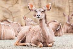 Lesser kudu Royaltyfri Bild